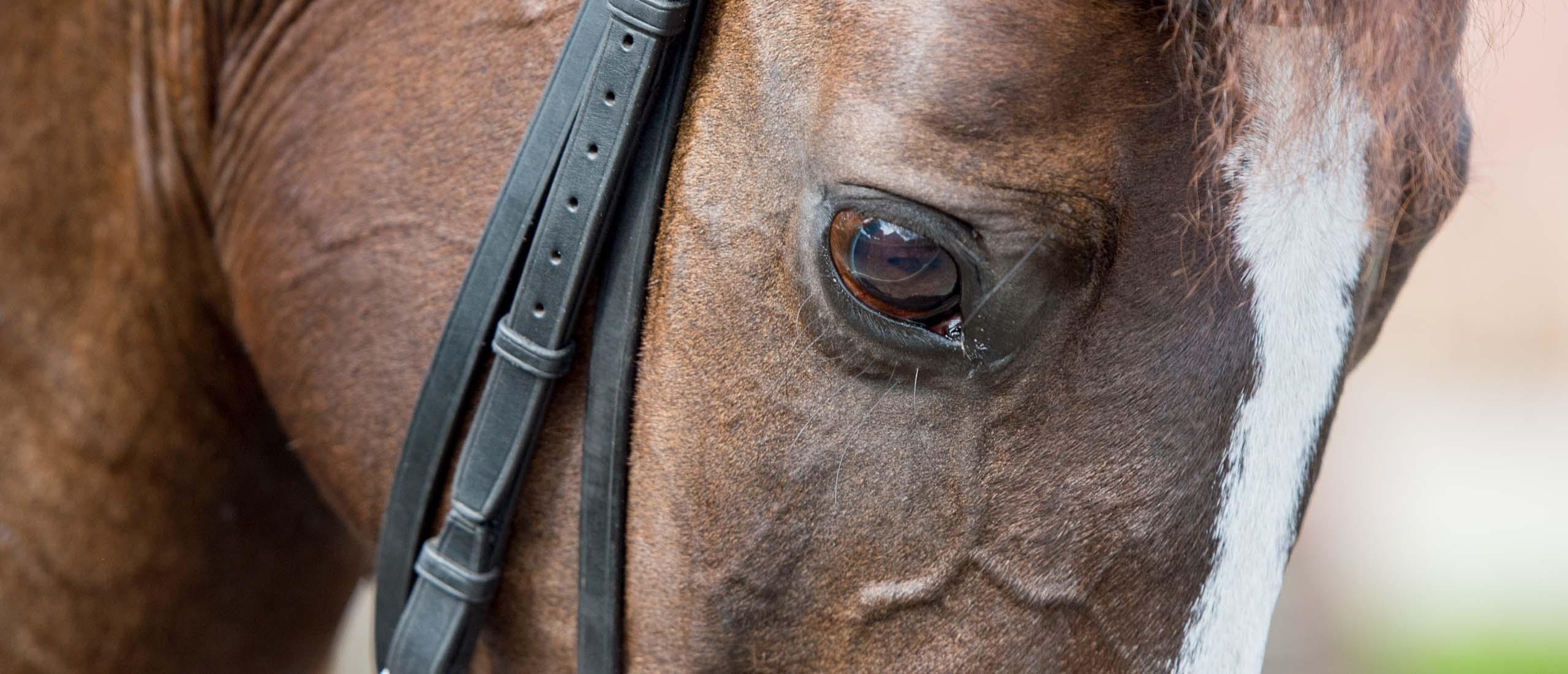 paardenfotografie - Detail van het hoofd